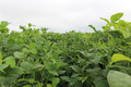 Goliath LJ Forage Soybeans