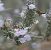 White Sage flowers