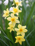 Narcissus x intermedius 'Texas Star'