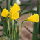 "(Pack of 10) A precious and rare, but very tough Southern bulb, standing only 4""-8"" high with distinctive bright yellow blooms. Zones 6-8"