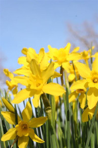 (Pack of 5) One of our all-around toughest bulbs, with bright yellow blooms and a wonderful fragrance. Zones 6-8