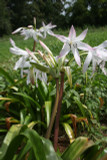 Available Now!  Blush colored crinum with rosettes of foliage.  Zones 7-10
