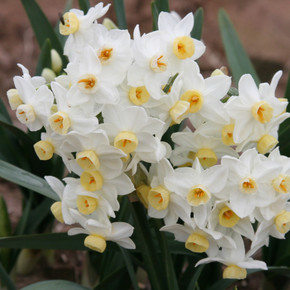 (Pack of 4) Clusters of 8-12 blooms on each stalk make for a very showy bloom, accented by a light, sweet fragrance. Zones 7-10