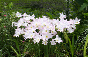 Not Available - (1 Gallon Pot) Packed full of bulbs, this pot has pink rain lilies that send up 4-6 blooms each throughout entire season following summer rains. Performs well in full sun to a quarter day sun (i.e. does well in a lot of areas)!  Zones 7-10