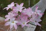 Labufarrosa Pink Rain Lily - Gallon