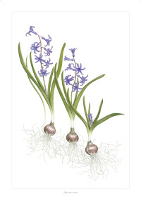 """Hyacinthus orientalis"" allows us to offer the beauty and form of this rare bulb for every home. Sometimes this bulb is referred to as the French Roman Hyacinth, a tribute to clumps still found along old Roman roads in France."