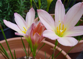 (Pack of 3) Offers 3-5 blooms throughout entire season following summer rains. Performs well in full to sun to part shade.