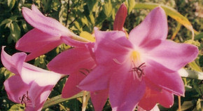 (Pack of 1) Deep Pink Colored Rare Crinum.