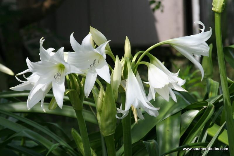 Powellii Album Crinum Lily medium-size bulb