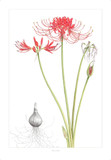 Ann captures the exquisite detail, color, and depth of the Lycoris radiata.