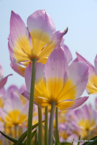 (Pack of 10) 'Lilac Wonder' tulip displays soft pink petals with a strong yellow base in a combination that will take your breath away.  This tulip sends up 2-3 flower stalks per bulb. Zones 6-8b