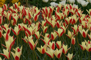 (Pack of 10) 'Tinka' tulip displays a warm bi-color combination adding deep, rich color to your spring bouquet. Zones 6-8
