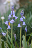 (Pack of 15) Spanish bluebells seen covering the ditches in England can also be seen thriving in abandoned sites as well as manicured gardens across the South. Their rich blue color, easy care, and stately form make them a favorite among many. Zones 6-9