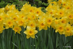 (Pack of 5) 'Carlton' is our best chance for a large, repeating, yellow trumpet shaped daffodil. Zones 4-9a