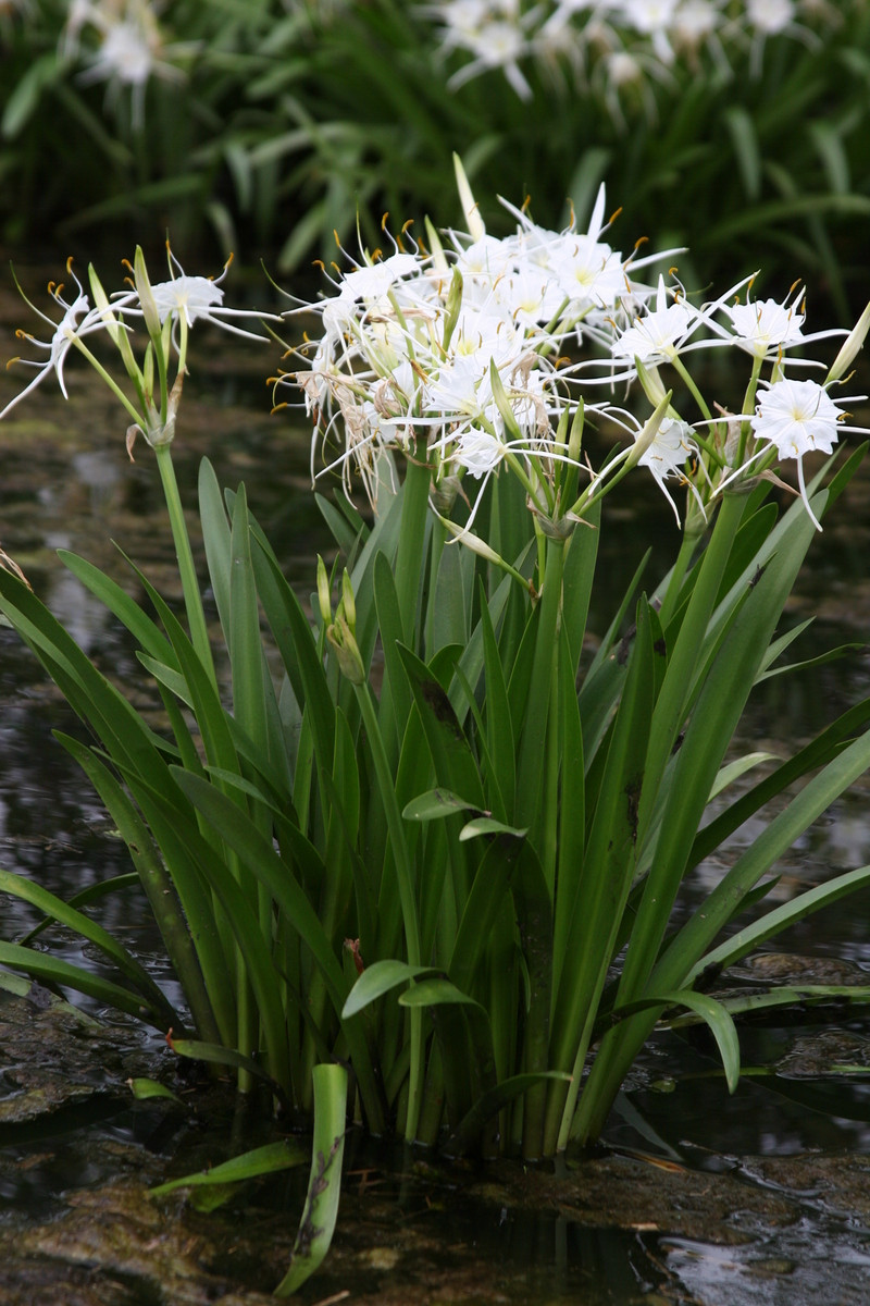 Hymenocallis liriosme texas spider lily available now 1 small to medium size bulbs known as the texas spider izmirmasajfo