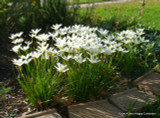 When in full bloom, the Zephyranthes candida can be striking!