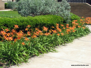 (Pack of 7) This single orange daylily is known as Hemerocallis fulva.  Zones 4-10