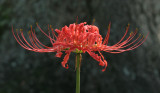 "(Pack of 3 LARGE Bulbs)  The Red Spider Lily: The true Southern triploid, this bulb is often called the 'surprise lily' for its sudden September blooms or ""hurricane lily"" as the large amounts of rain brought from hurricanes can trigger a bloom. Zones 6-10"