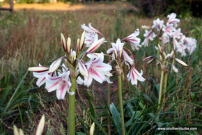 (Pack of 1 Bulb) An extremely tough, old fashioned heirloom crinum with the signature white and burgundy stripes that give it the old fashioned name 'Milk and Wine.'  Zones 7-10