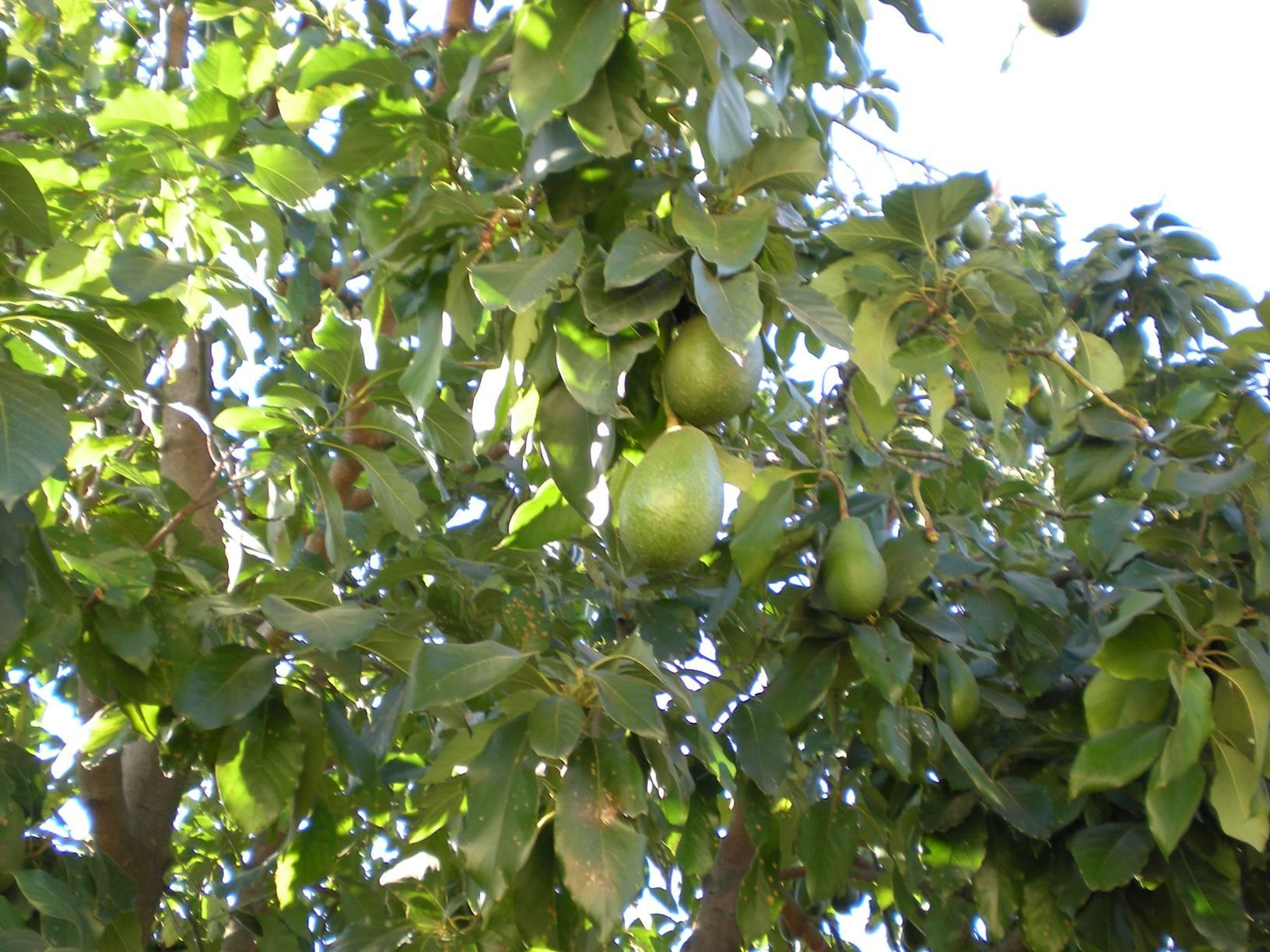 Avocado Oil - Top Organic Skin Care Products Ingredient | Rosemira