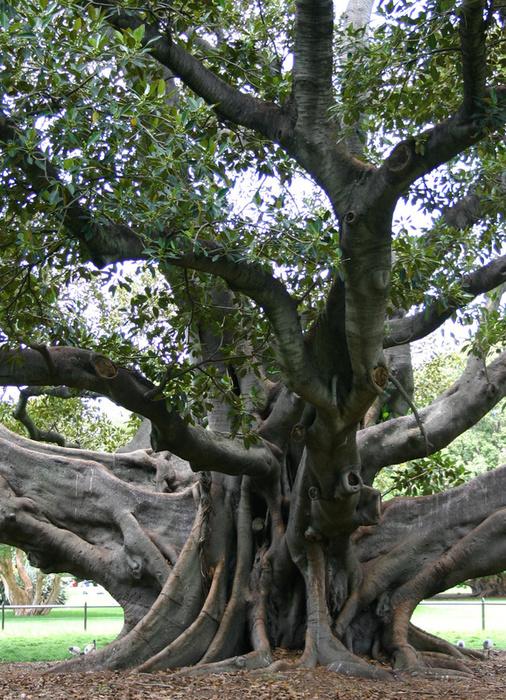 Fig Botanical Extract Organic & Natural Skin Products | Rosemira
