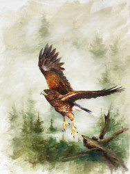"DVD1116 ""Lift Off"" Painting the Harris's Hawk"