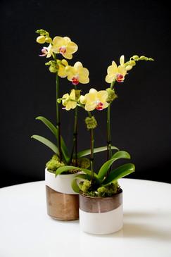 QDOBA (Compact Orchid)
