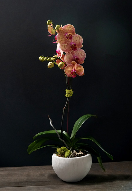 Single Orchid with White Pot and Novelty/Seasonal Shades Orchid Option