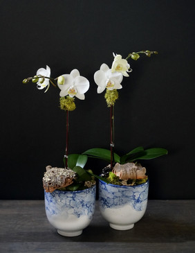 AZURE (Compact Orchid)