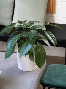 HAWAIIAN UMBRELLA PLANT | Tropical Planter
