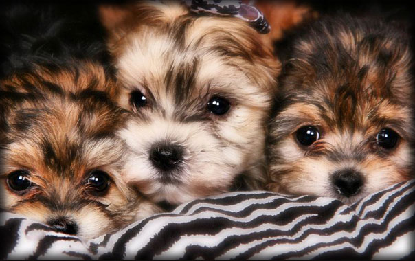 Puppies For Sale by Alabama Dog Breeder | Alabama Toys & Teacups