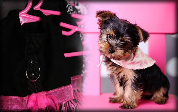 Puppies For Sale by Alabama Dog Breeder | Alabama Toys & Teacups