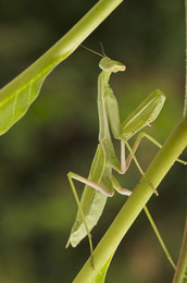 Praying Mantis, three egg cases