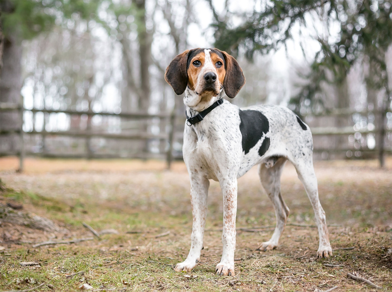 a-tree-walker-coonhound-deserves-the-best-quick-track-garmin-and-dogtra-products-from-buzzard-s-roost.jpg